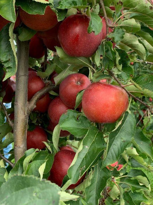fruitboerderij vink appels