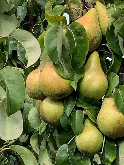 fruitboerderij vink peren