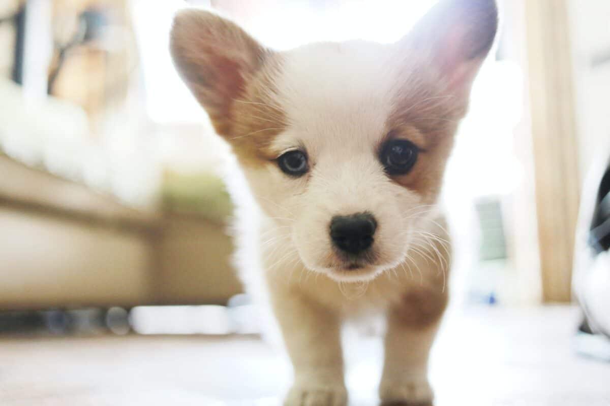 puppy huisdier hond